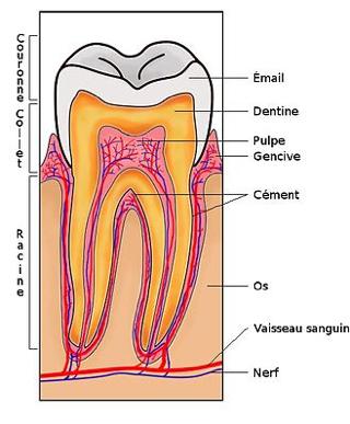 Greffe gingivale / Parodontie